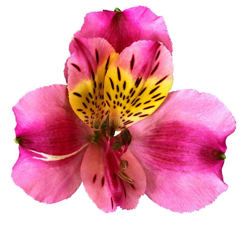 Flor da orquídea do amarelo do rosa de jardim isolada no fundo branco Close-up Macro fotos de stock
