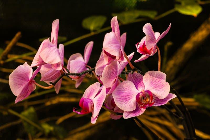 Flor da orquídea do dendrobium cor-de-rosa do Phalaenopsis ou da traça no fundo floral do jardim tropical do dia do verão ou de m imagem de stock royalty free