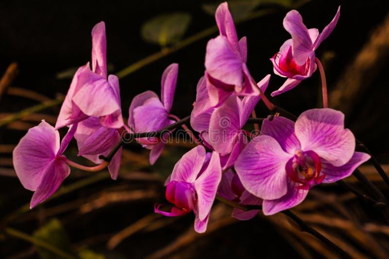 Flor da orquídea do dendrobium cor-de-rosa do Phalaenopsis ou da traça no fundo floral do jardim tropical do dia do verão ou de m fotos de stock royalty free