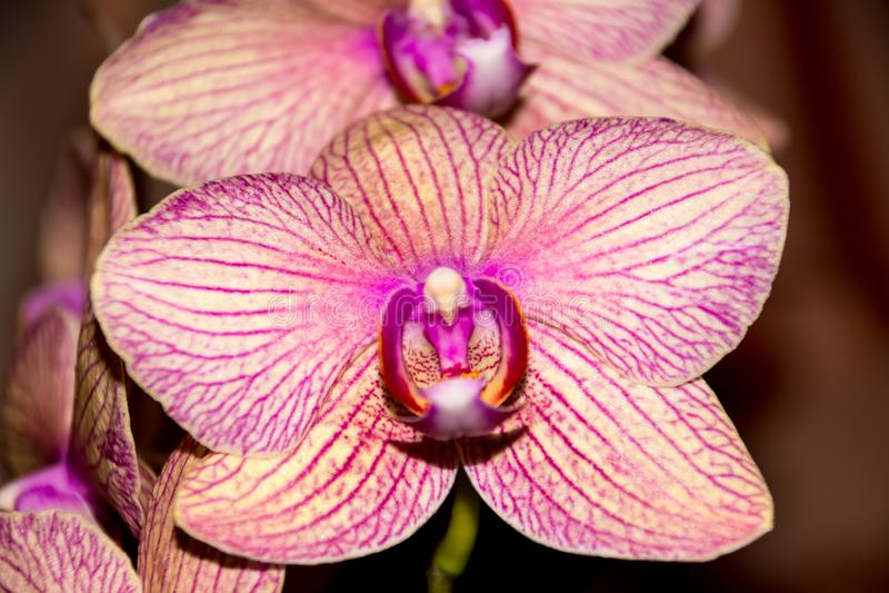 A flor da orquídea do Phalaenopsis, orquídeas é a rainha das flores imagens de stock