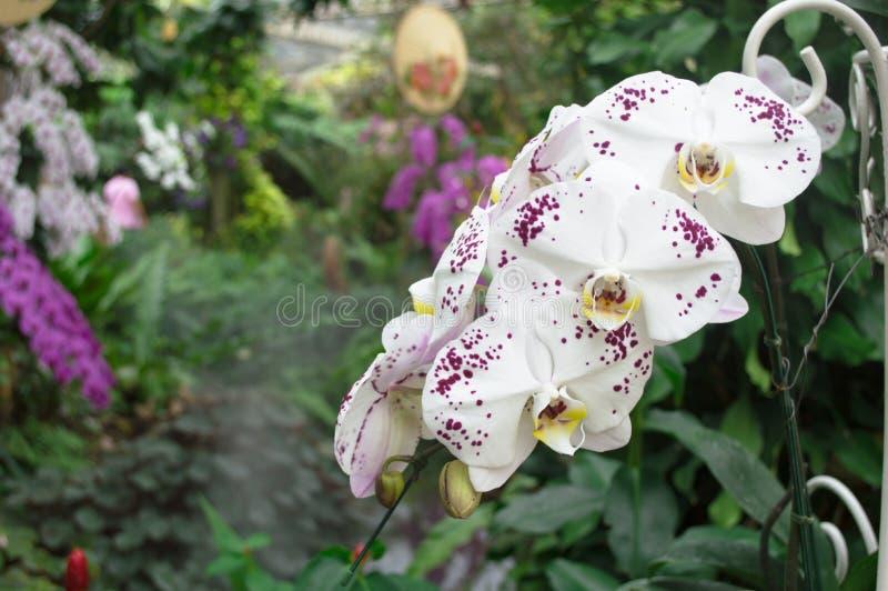 Flor da orquídea em branco e em cor-de-rosa no jardim imagem de stock royalty free