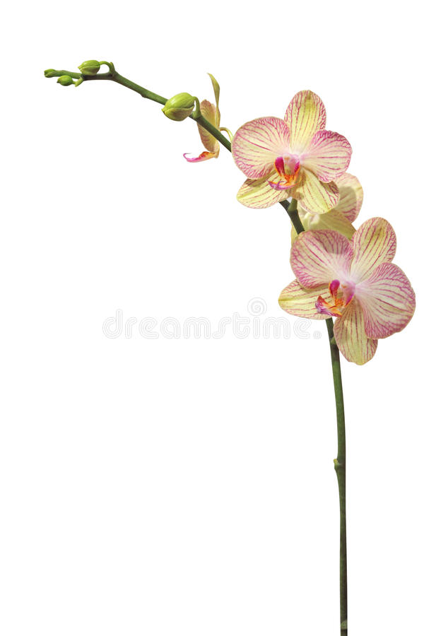 Flor da orquídea, isolada no branco foto de stock royalty free