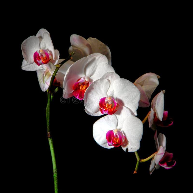 Flor da orquídea no fundo preto fotografia de stock