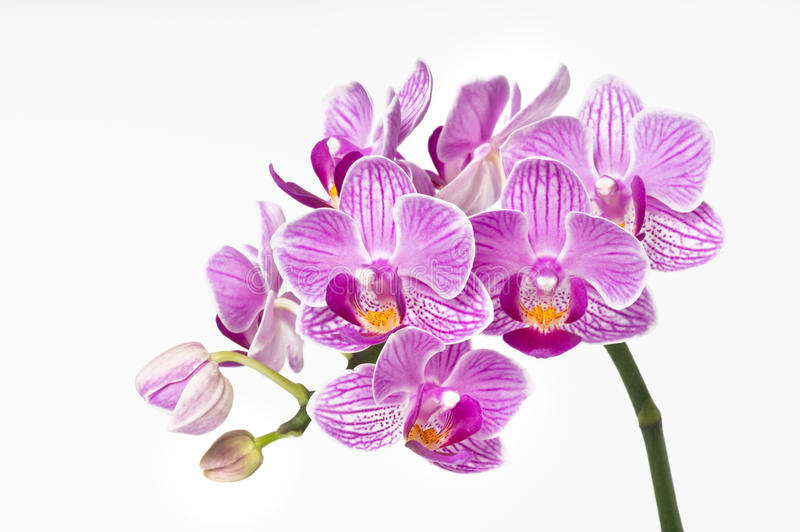 Flor da orquídea, phalaenopsis fotos de stock royalty free