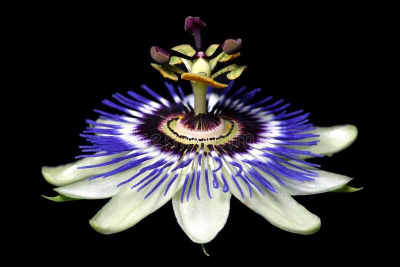 Flor da paixão imagem de stock royalty free