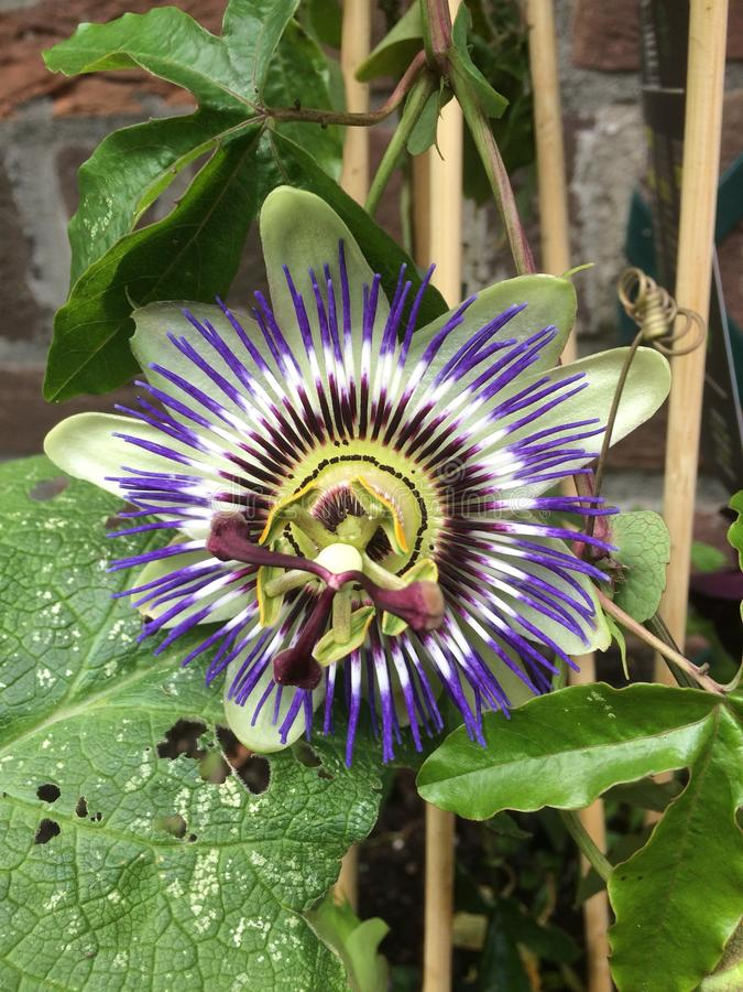 Flor da paixão no jardim fotos de stock