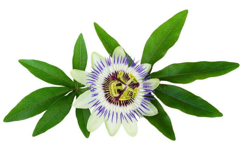 A flor da paixão (Passiflora) isolou o trajeto de grampeamento incluído imagem de stock royalty free