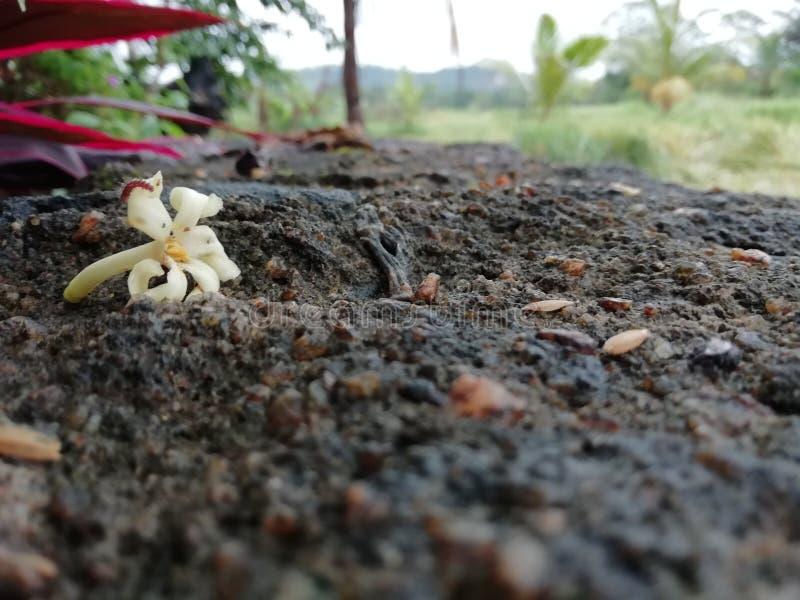 Flor da papaia foto de stock