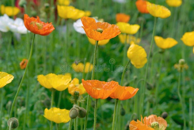 Flor da papoila de ópio fotos de stock