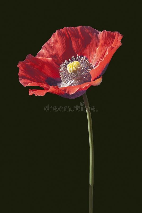 Flor da papoila de ópio foto de stock