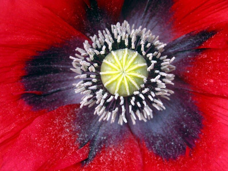 Flor da papoila do Close-up foto de stock royalty free