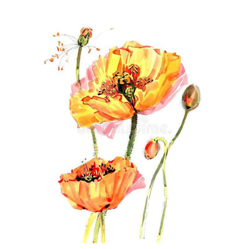 Flor da papoila do Wildflower em um estilo da aquarela isolada ilustração do vetor