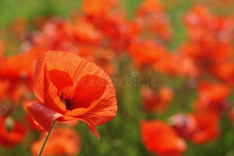 Flor da papoila focalizada fotografia de stock royalty free
