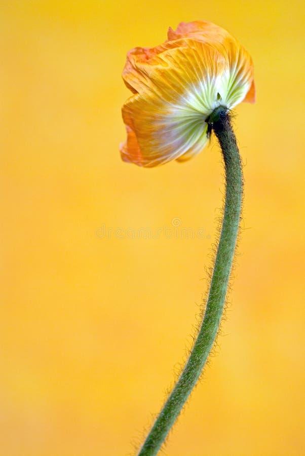 Flor da papoila na flor fotos de stock