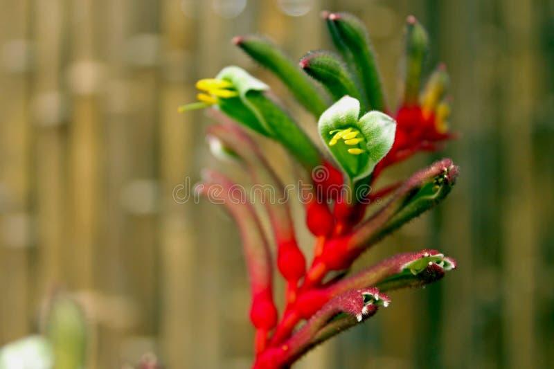 Flor da pata de canguru fotos de stock