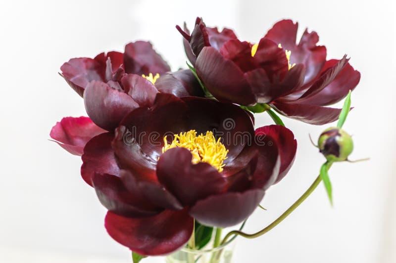 Flor da peônia da cor escura de Borgonha no fundo branco fotografia de stock royalty free