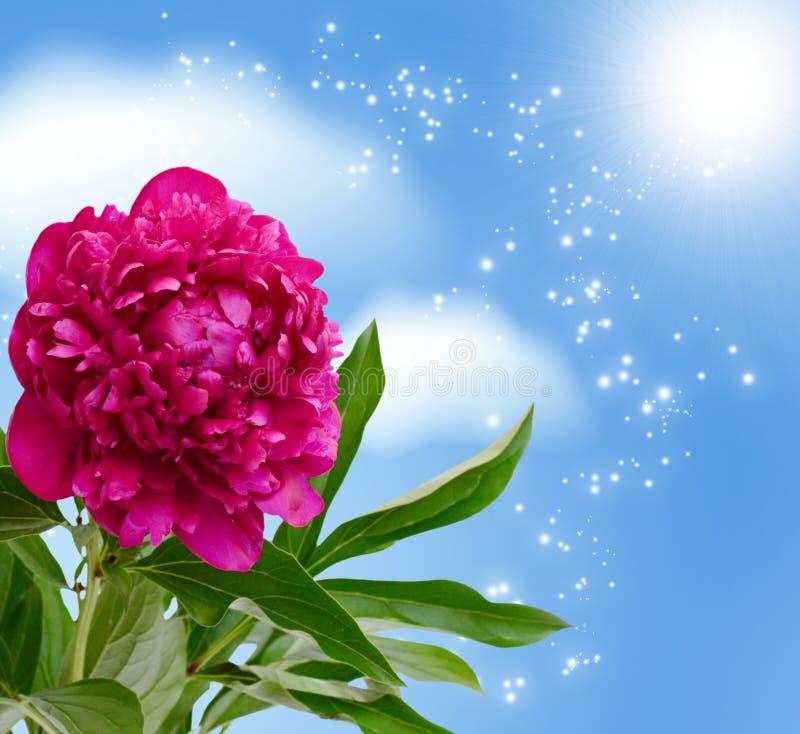 Flor da peônia fotografia de stock