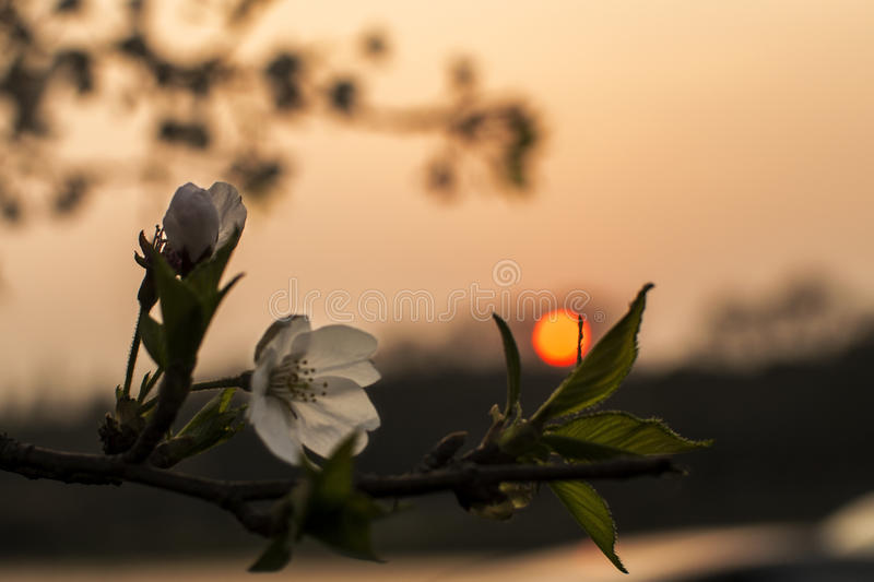 Flor da pera no por do sol foto de stock royalty free