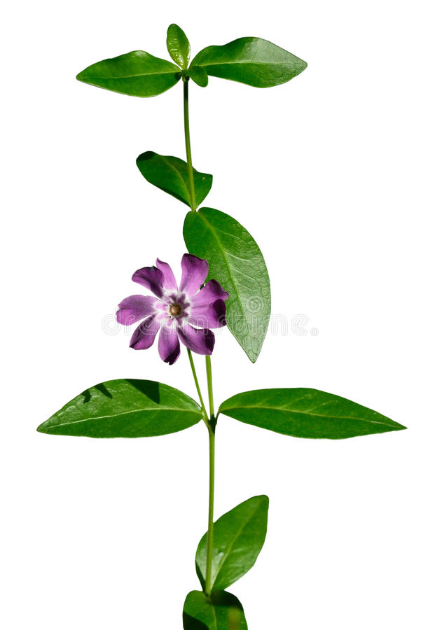 Flor da pervinca foto de stock