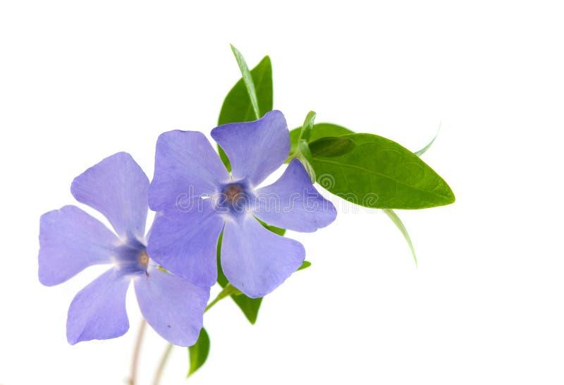 Flor da pervinca isolada foto de stock royalty free