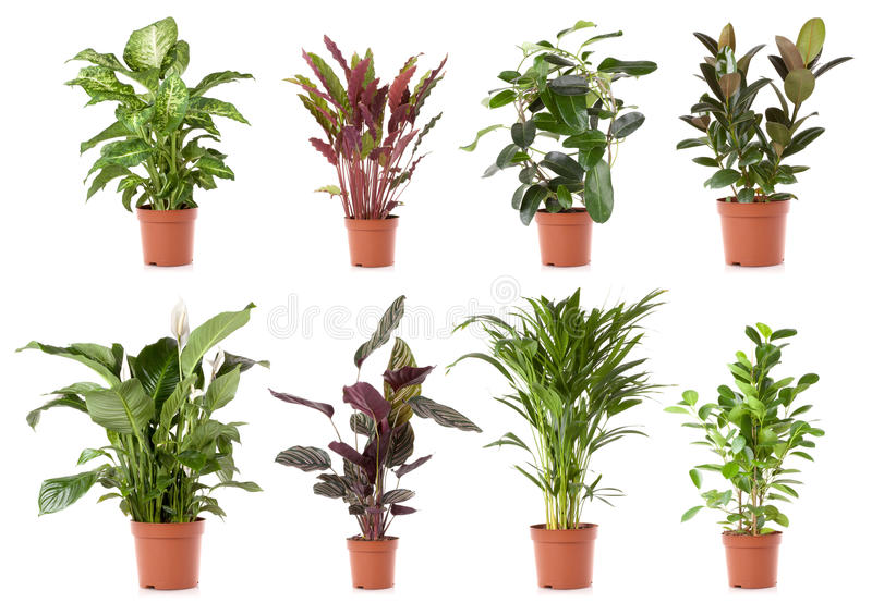 Flor da planta de potenciômetro imagem de stock royalty free