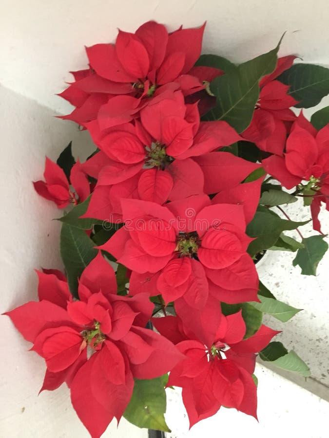 Flor da poinsétia fotografia de stock royalty free