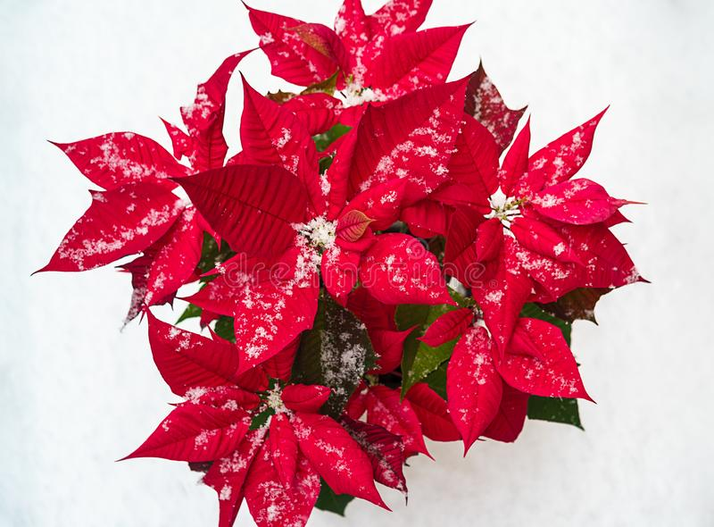 Flor da poinsétia do Natal: pétalas vermelhas e flocos de neve de queda no fundo branco da neve Feliz Natal e ano novo feliz imagens de stock