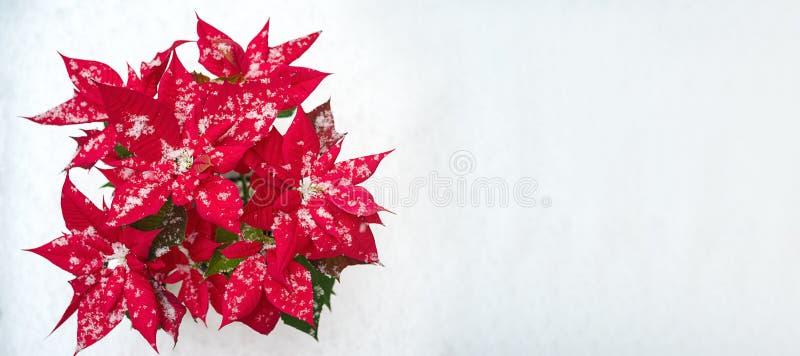 Flor da poinsétia do Natal: pétalas vermelhas e flocos de neve de queda no fundo branco da neve Feliz Natal e ano novo feliz imagem de stock