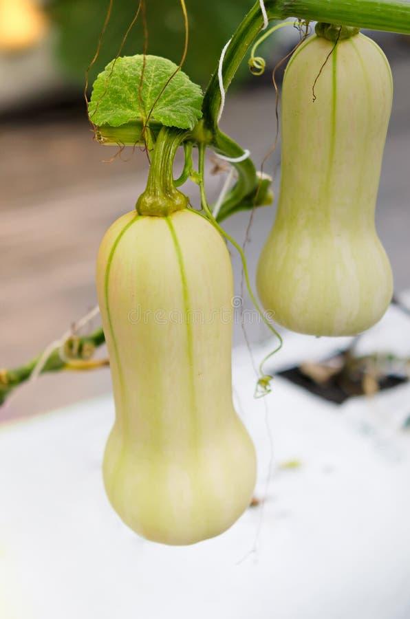 Flor da polpa de Butternut foto de stock