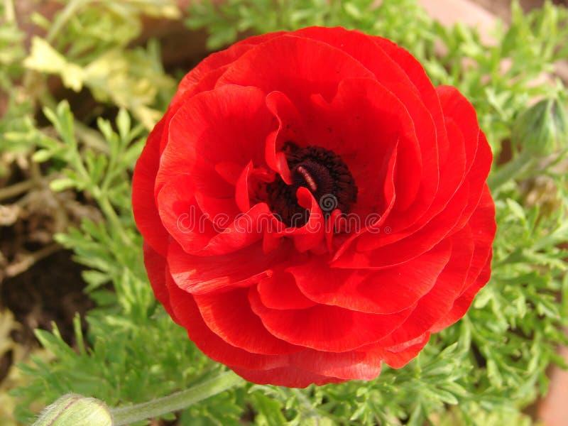 Flor da flor popy fotografia de stock