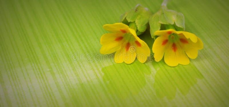 Flor da prímula fotografia de stock