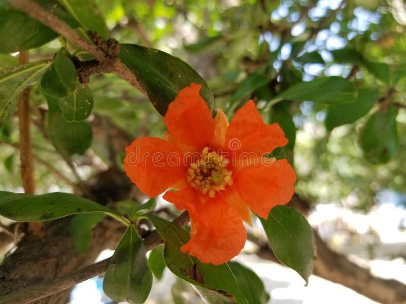 Flor da rom? fotografia de stock royalty free
