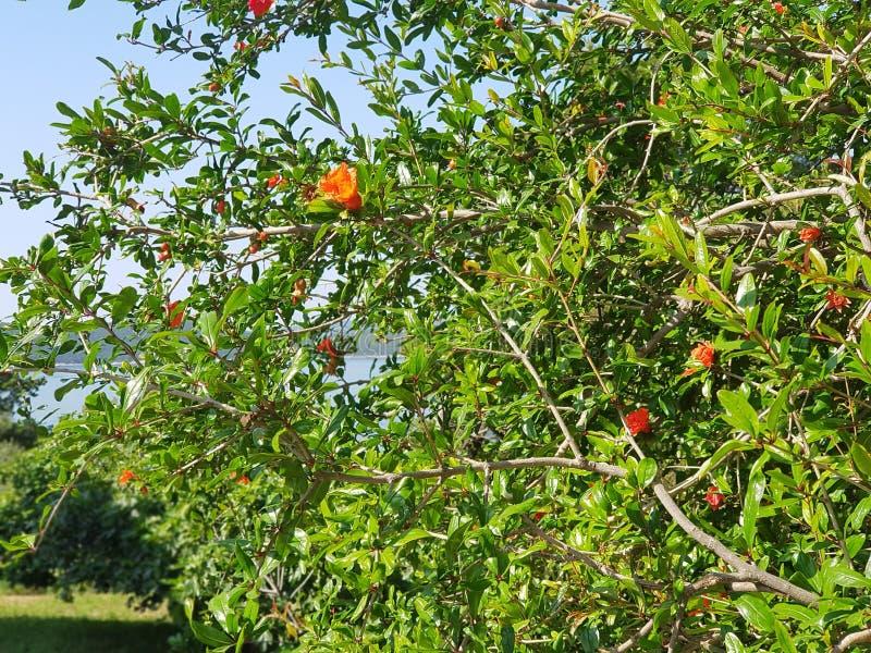Flor da rom? foto de stock royalty free