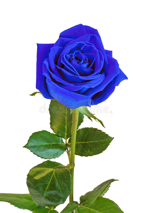 Flor da rosa do azul, folhas do verde, fim acima, fundo branco, isolado fotos de stock royalty free