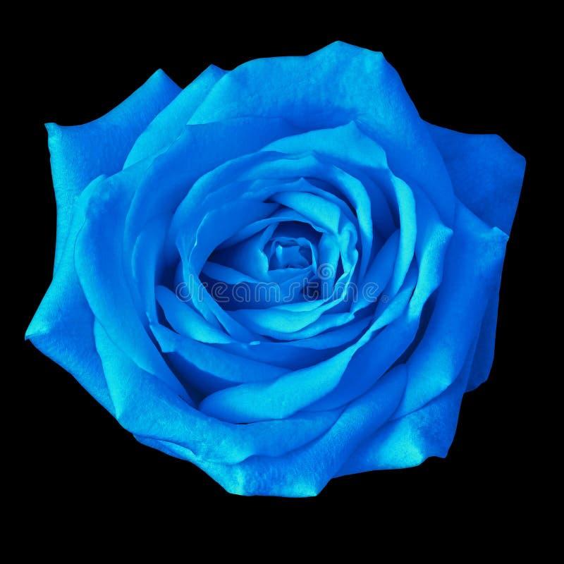Flor da rosa do azul isolada em um fundo preto closeup imagens de stock royalty free