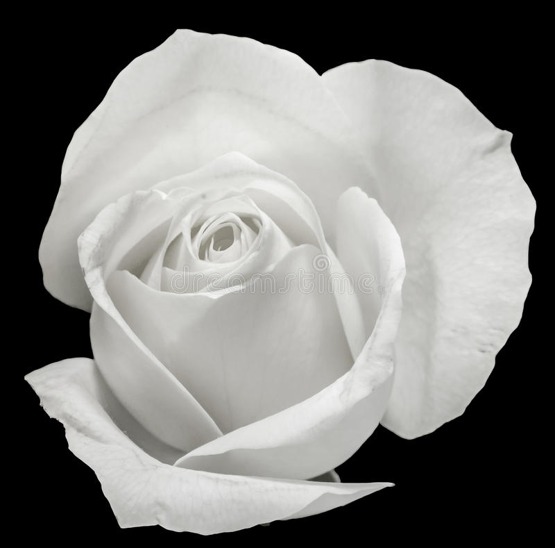 Flor da rosa do branco, detalhes, fim acima, macro imagens de stock royalty free