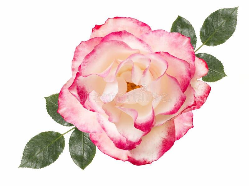 Flor da rosa do branco, isolada no fundo branco ilustração do vetor