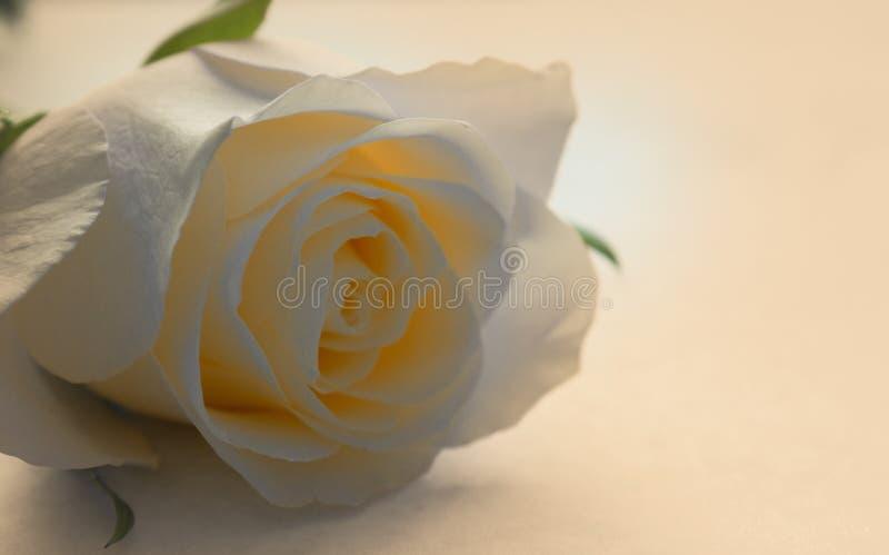 Flor da rosa do branco na flor foto de stock royalty free