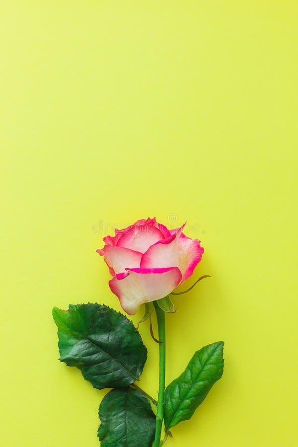 Flor da rosa do rosa em um fundo amarelo brilhante fotos de stock royalty free