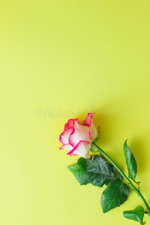 Flor da rosa do rosa em um fundo amarelo brilhante verticalmente fotografia de stock royalty free