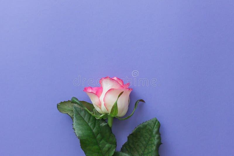 Flor da rosa do rosa em um fundo lilás brilhante fotografia de stock