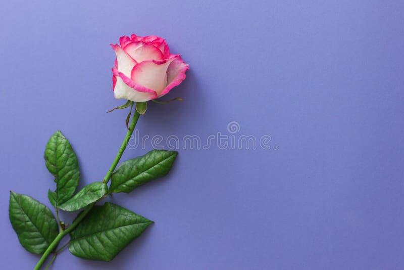 Flor da rosa do rosa em um fundo lilás brilhante imagem de stock royalty free