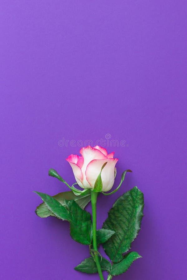 Flor da rosa do rosa em um fundo violeta fotos de stock