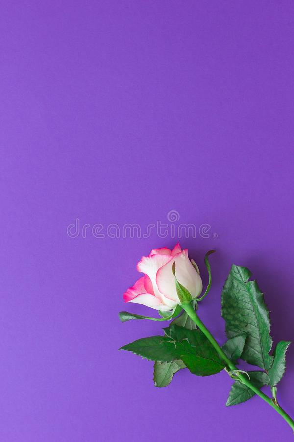 Flor da rosa do rosa em um fundo violeta fotografia de stock