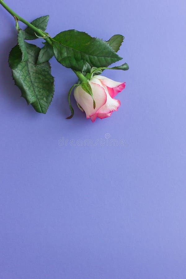 Flor da rosa do rosa em uma opinião superior do fundo lilás brilhante foto de stock royalty free