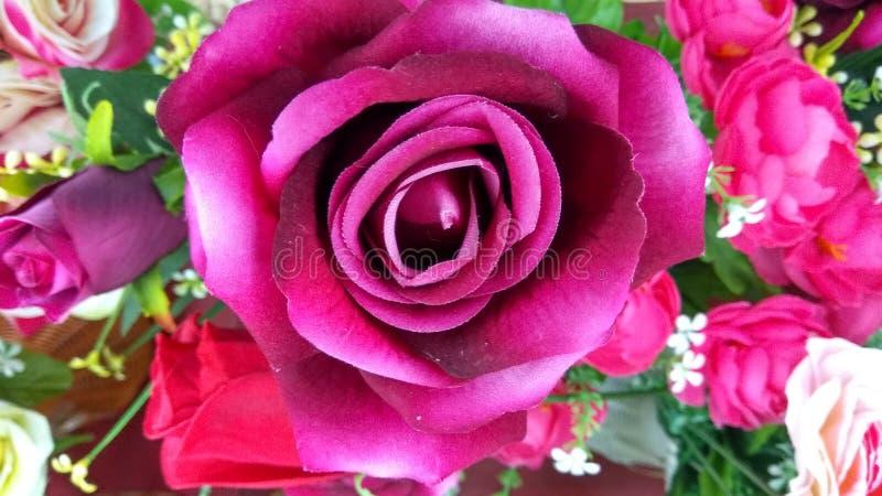 Flor da rosa da magenta foto de stock royalty free