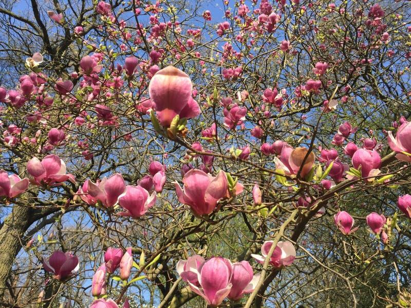 Flor da ?rvore da magn?lia, Londres Grupo, fundo fotografia de stock