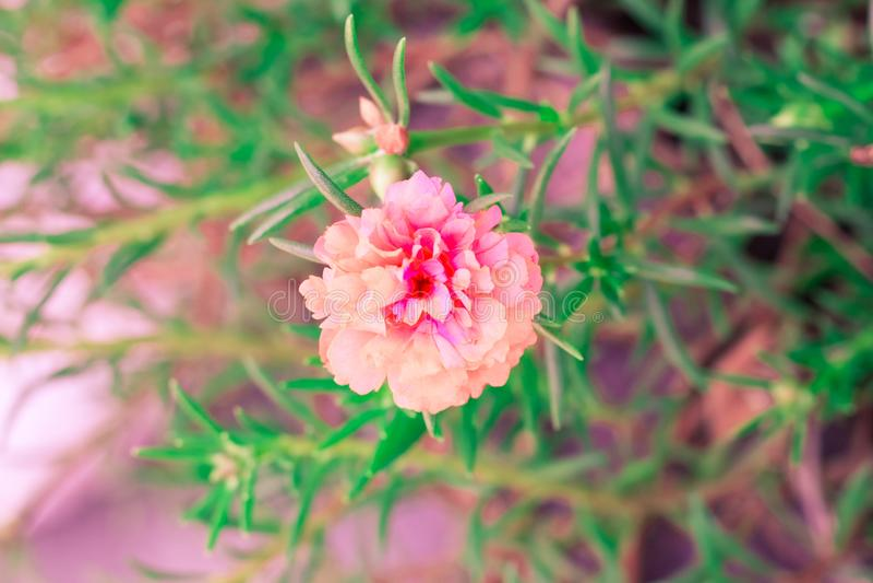 Flor da sapata do vintage, hibiscus, cor pastel cor-de-rosa do chinês fotografia de stock royalty free