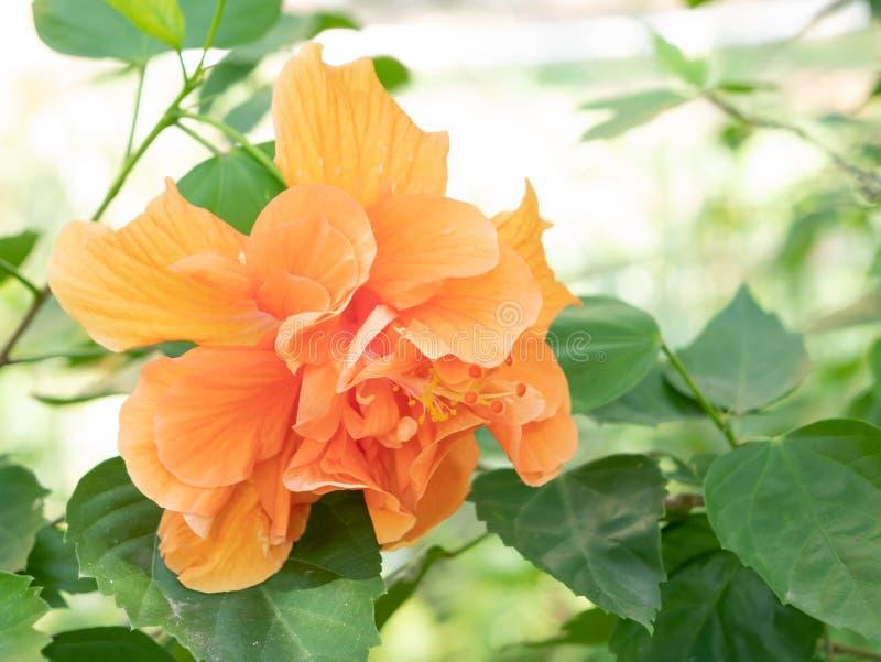 Flor da sapata ou chinês alaranjado Rosa imagem de stock royalty free