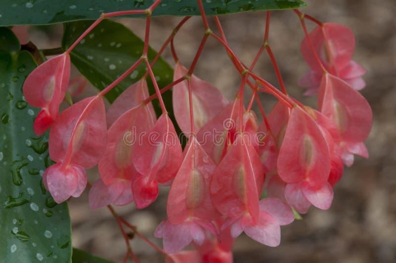 Flor da semente da begônia fotos de stock